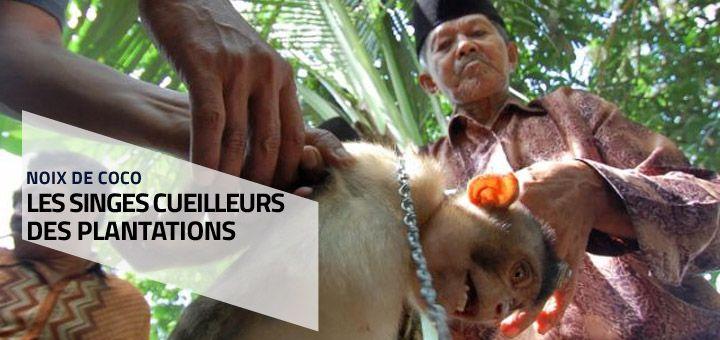 Les singes cueilleurs des plantations
