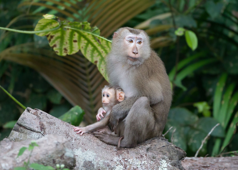 1200px-Macaca_leonina_mother_with_baby_-_Khao_Yai.jpg