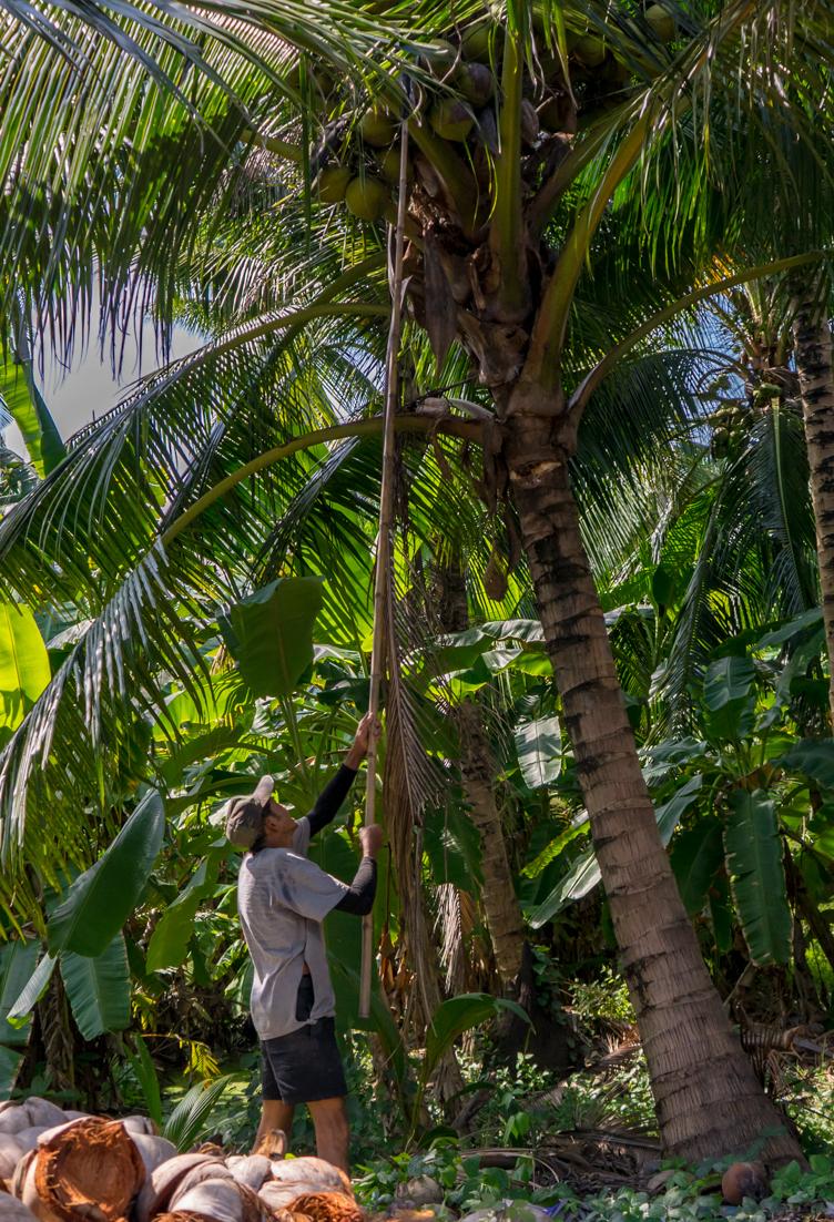 Fermier cueilleur de noix de coco