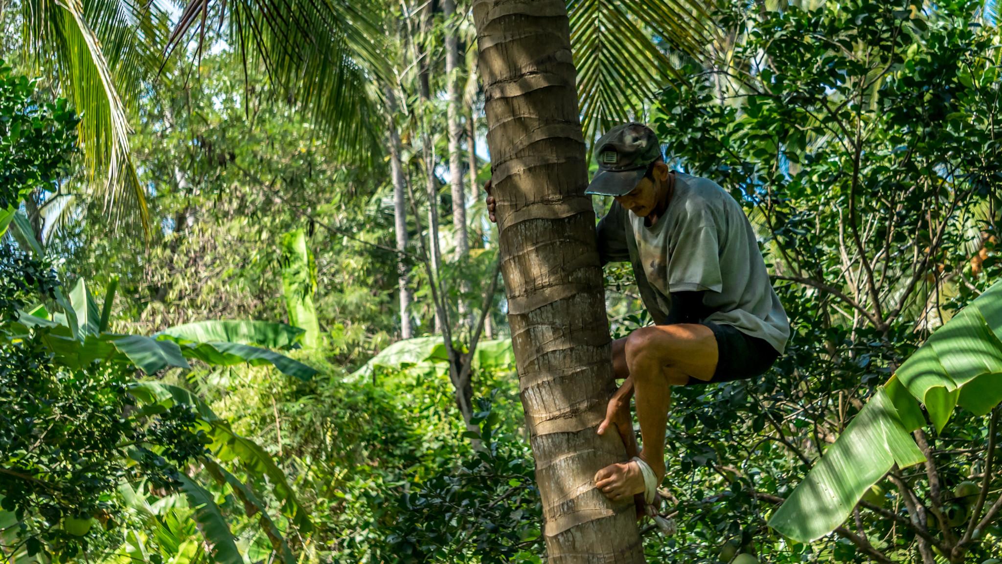 Un fermier grimpant à un cocotier