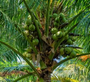 gros plan noix de coco